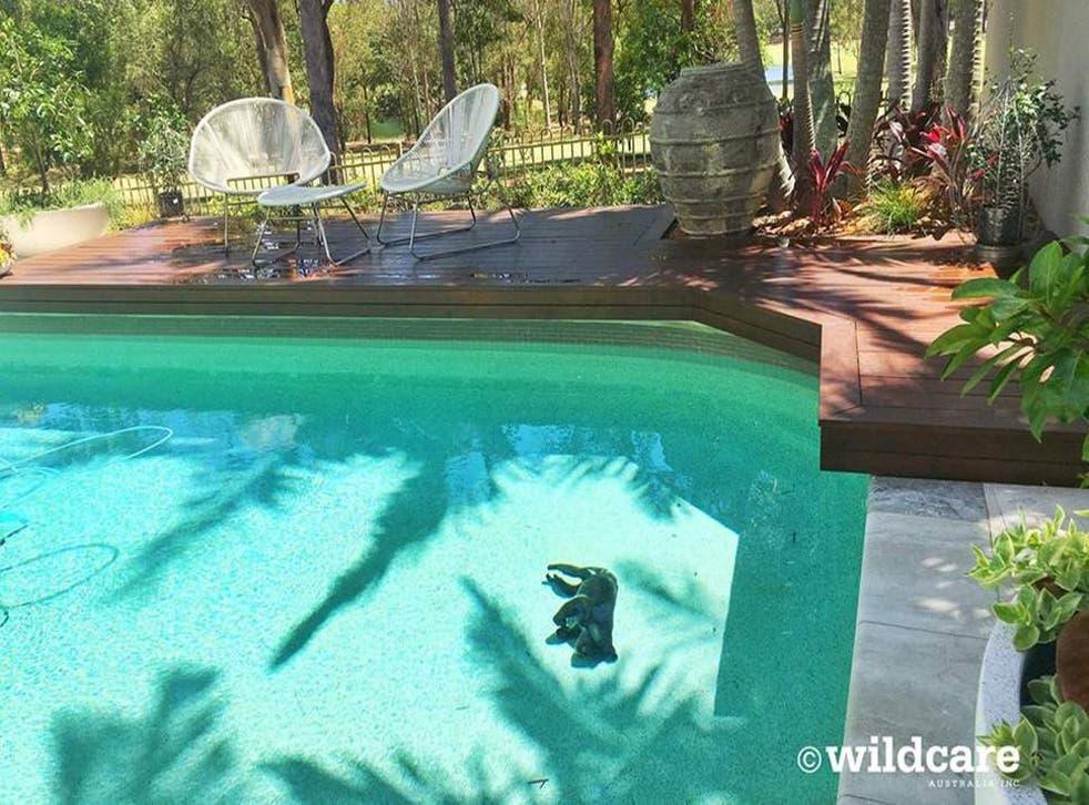 A koala named Summer drowned in a backyard pool.
