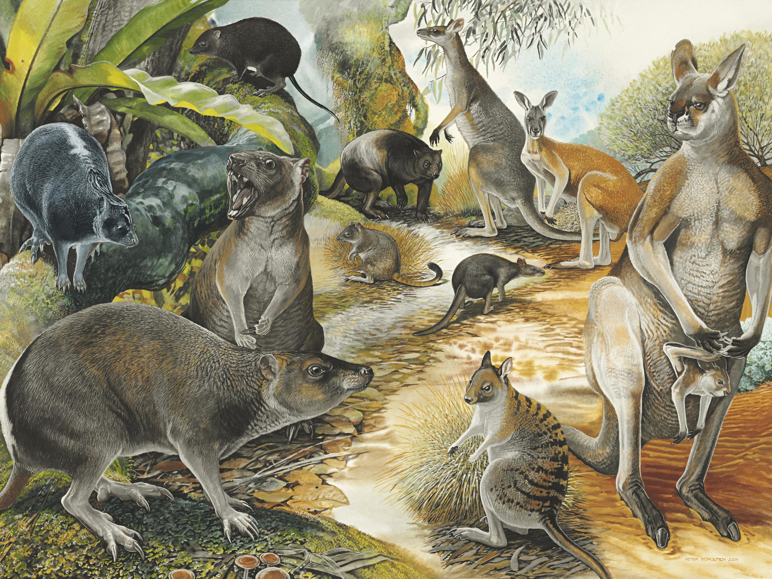 Ancient kangaroo fossil reveals origin of marsupial hop
