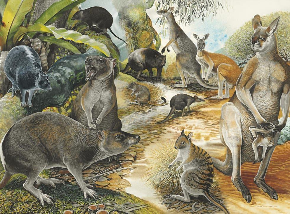 Artistic reconstruction showing the balbarid kangaroo relative Nambaroo gillespieae (top left)