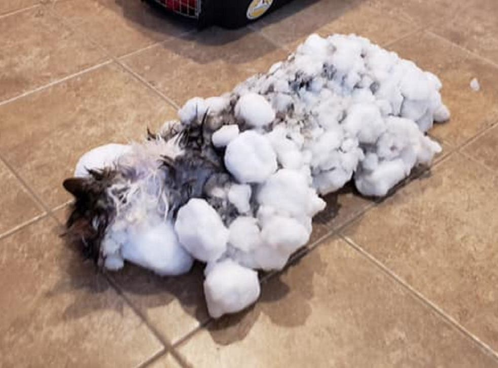 Fluffy the cat had a miraculous recovery after she was found frozen and unresponsive after being buried in snow in Kalispell, Montana, on 31 January 2019.