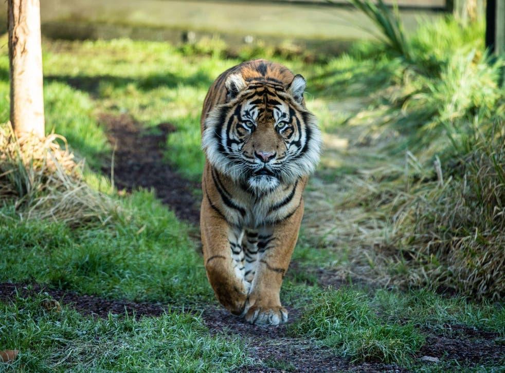 Asim, a seven-year-old Sumatran tiger, killed his prospective mate at London Zoo