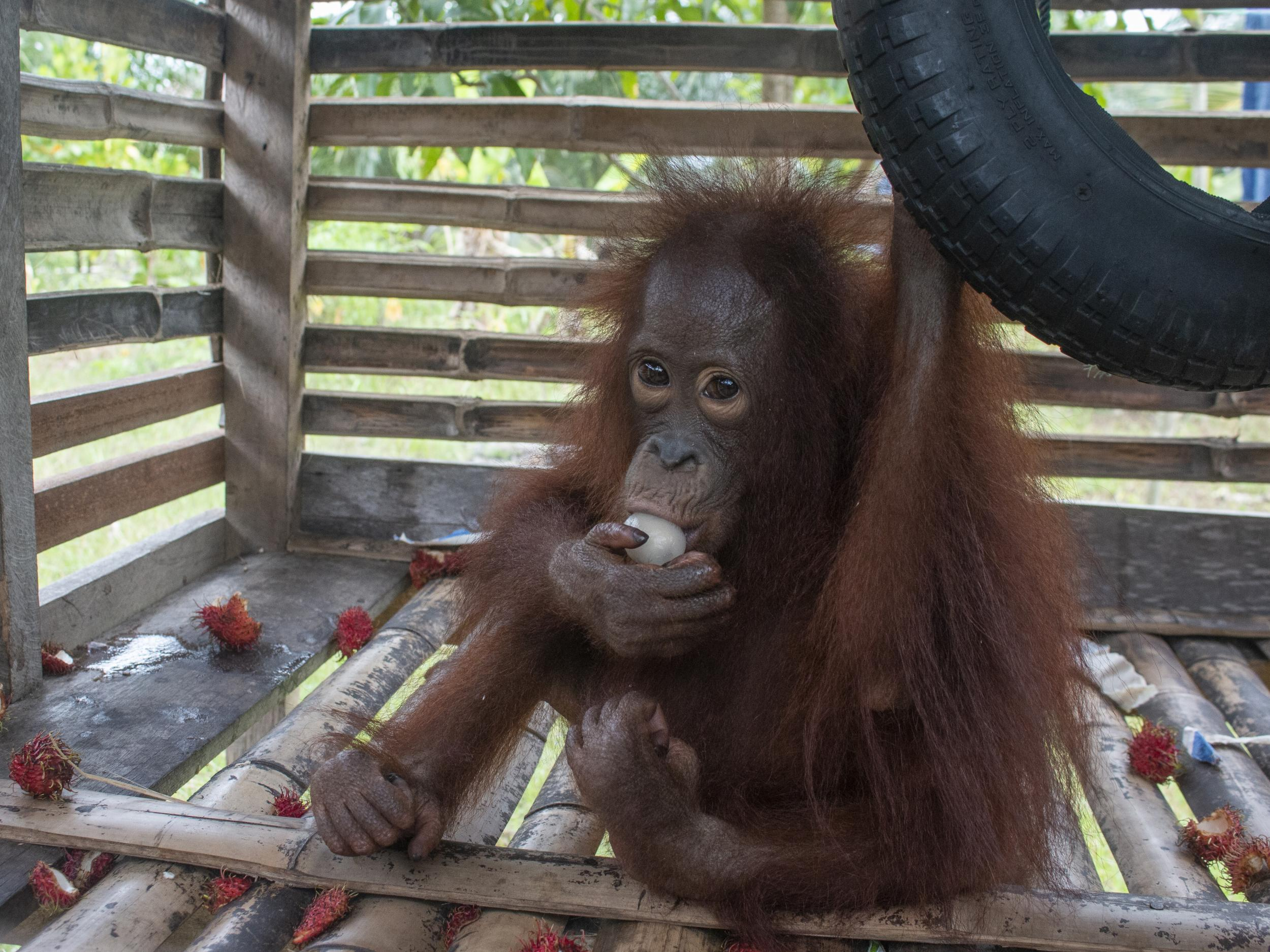 Orangutan in Borneo rescued after four years locked in a wooden crate