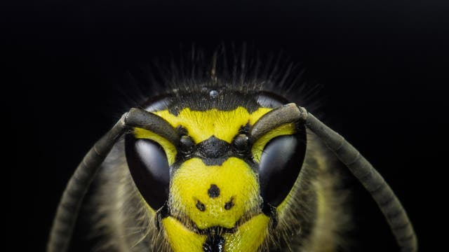 Wasps are of the order Hymenoptera, one of the most at risk