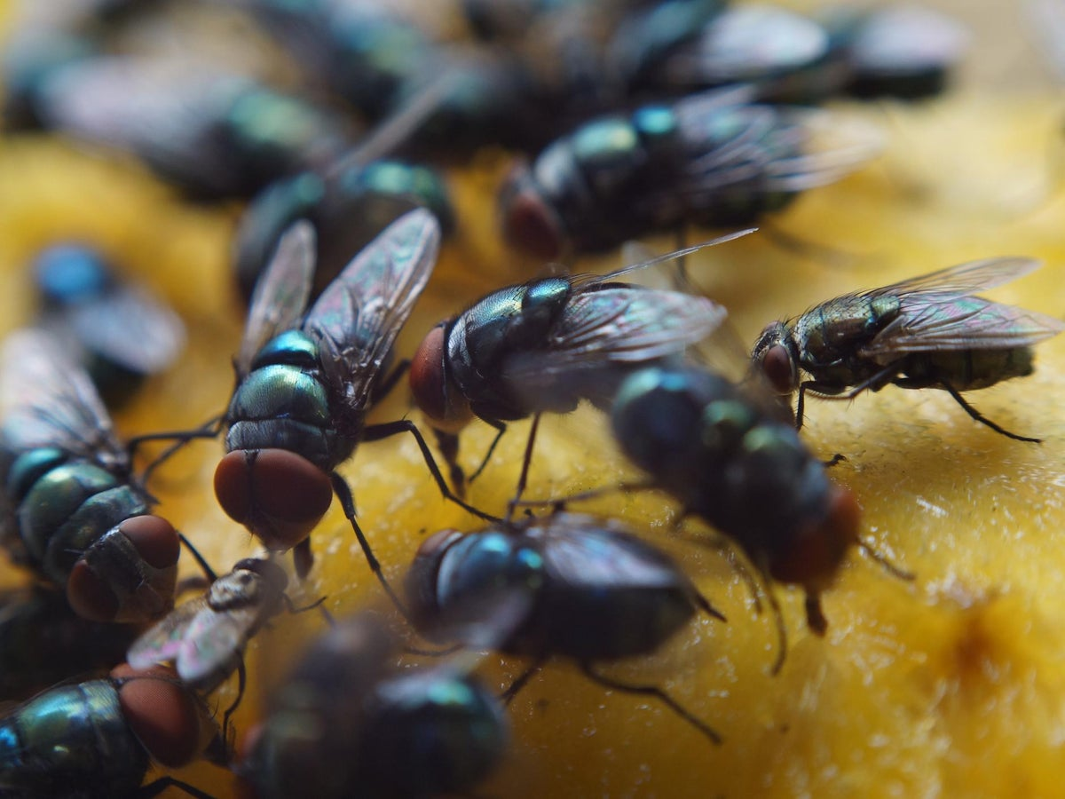 Food poisoning cases could surge as climate change brings swarms of flies,  scientists warn   The Independent   The Independent