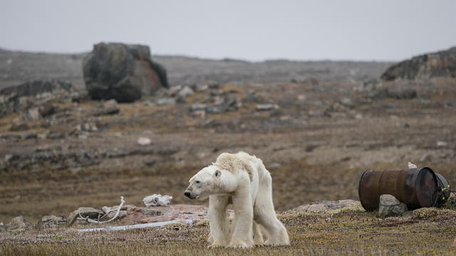 Justin's whole body pained as he watched this starving polar bear at an abandoned hunter's camp, in the Canadian Arctic, slowly heave itself up to standing. With little, and thinning, ice to move around on, the bear is unable to search for food.