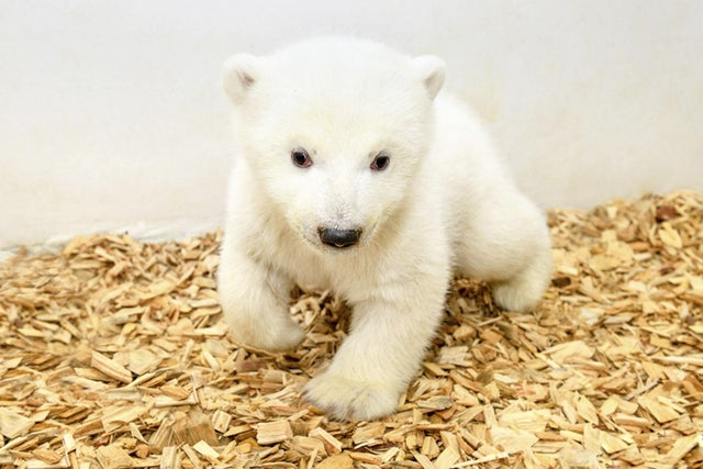 First Pictures Of Polar Bear Cub Born In Berlin Zoo The Independent The Independent