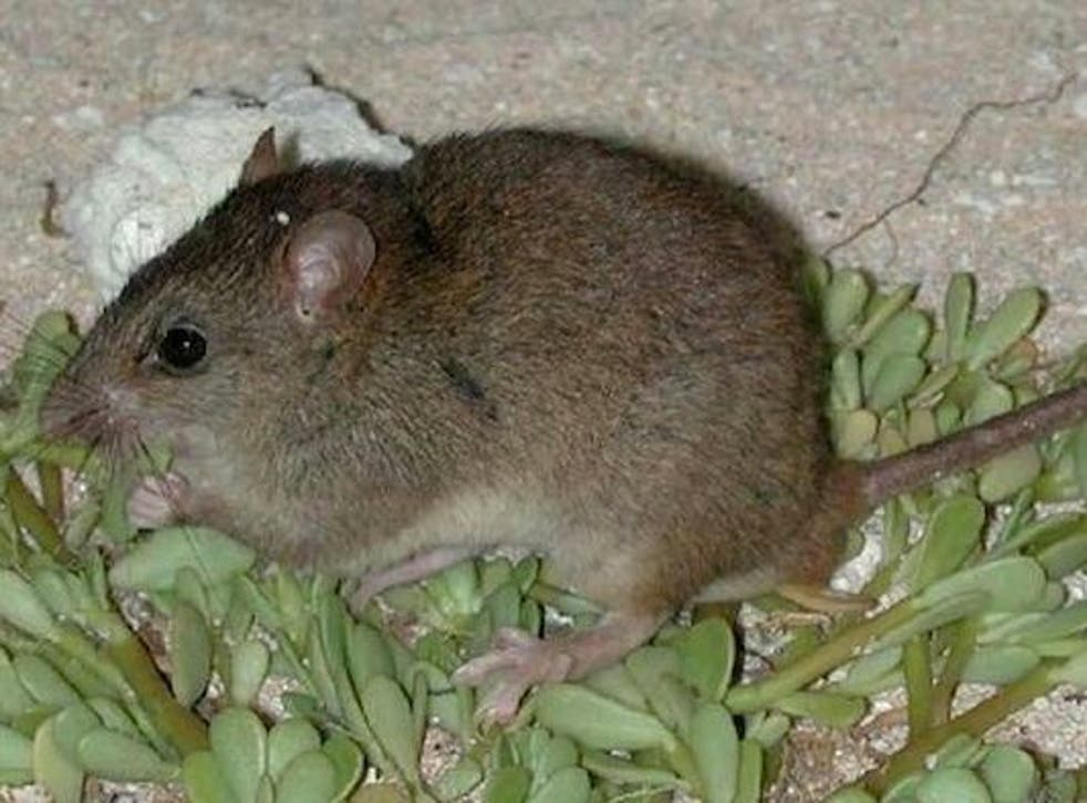 The melomys lived on one low-lying island in the Torres Strait between Queensland and Papua New Guinea