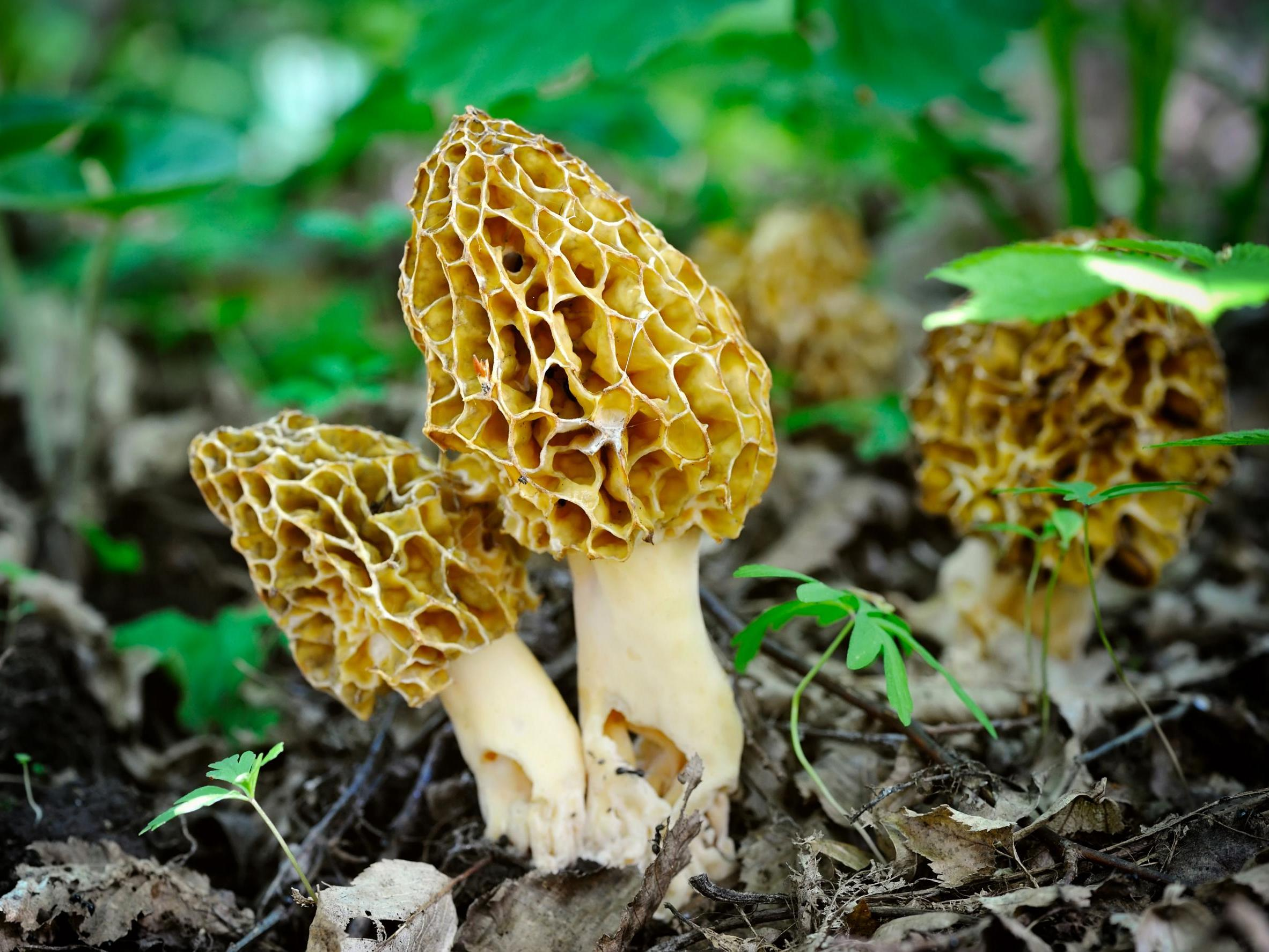Mushrooms - latest news, breaking stories and comment - The Independent