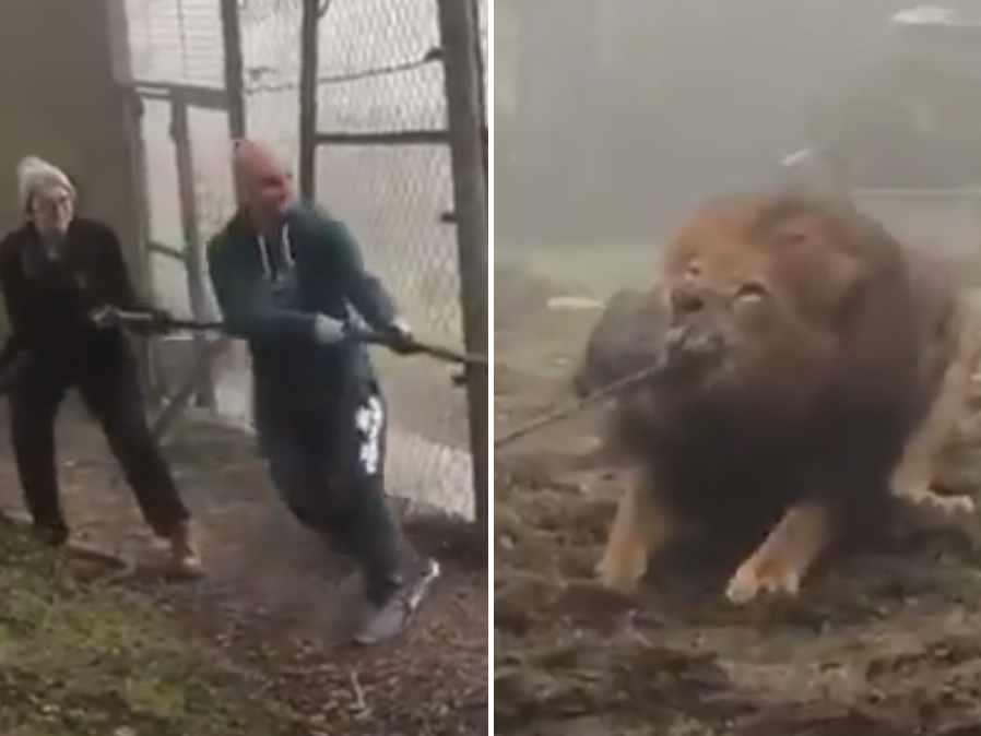 Dartmoor zoo offers visitors tug-of-war against lion or