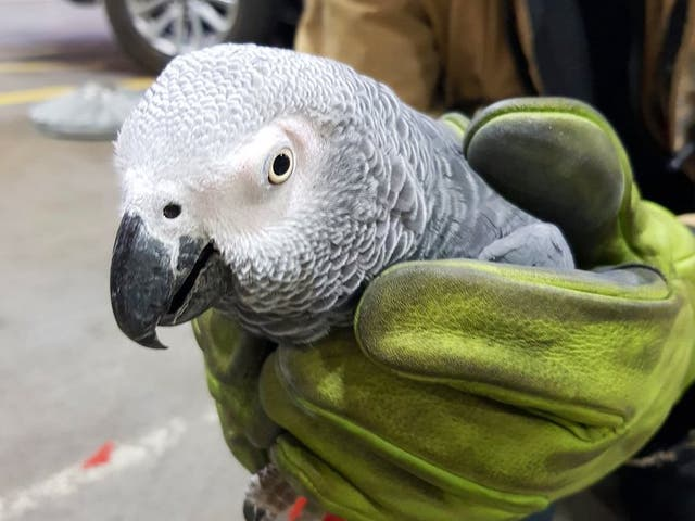 Hugo, an African grey parrot, was found during a routine runway inspection