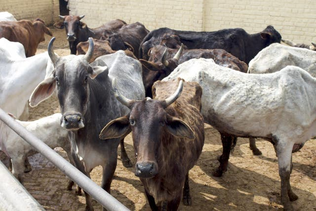 Cows at a shelter outside Delhi. The animals' welfare can be a provocative issue in India
