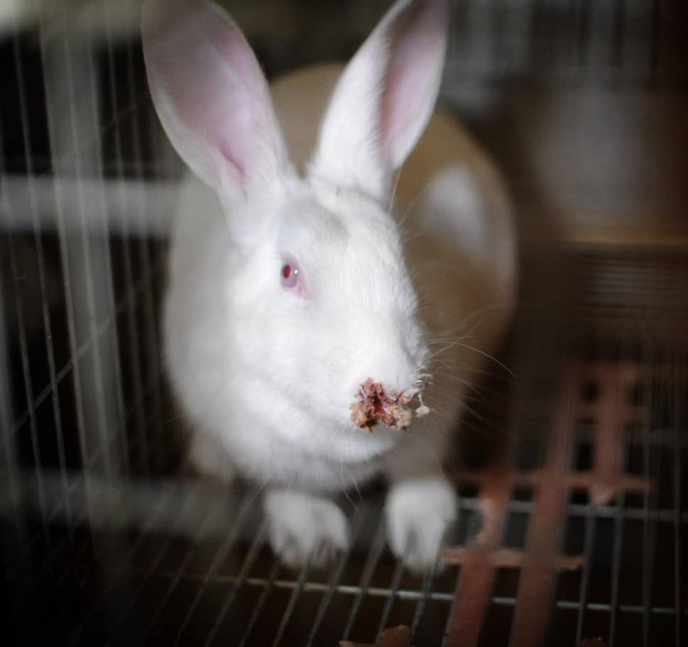 Rabbit with face injury
