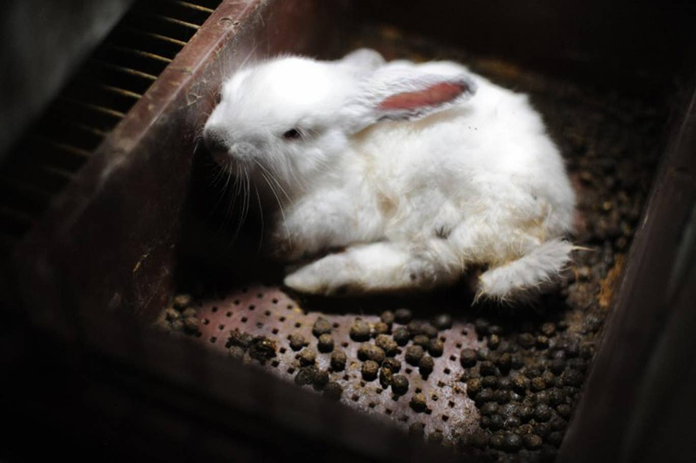 A rabbit lies at the bottom of a cage, surrounded by feces