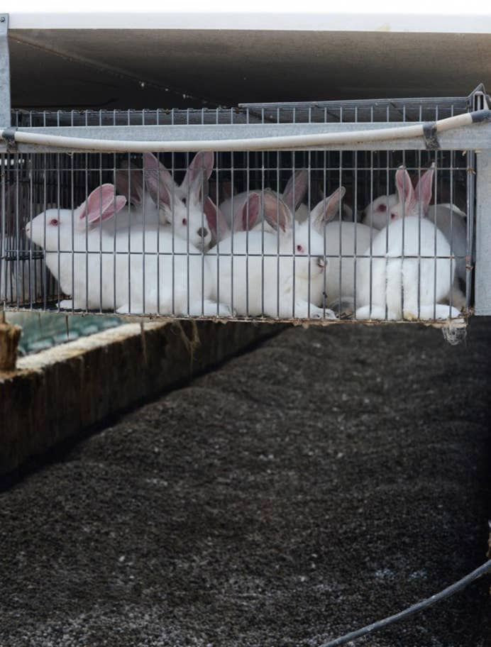 Rabbit cages hover above excrement on breeding farm