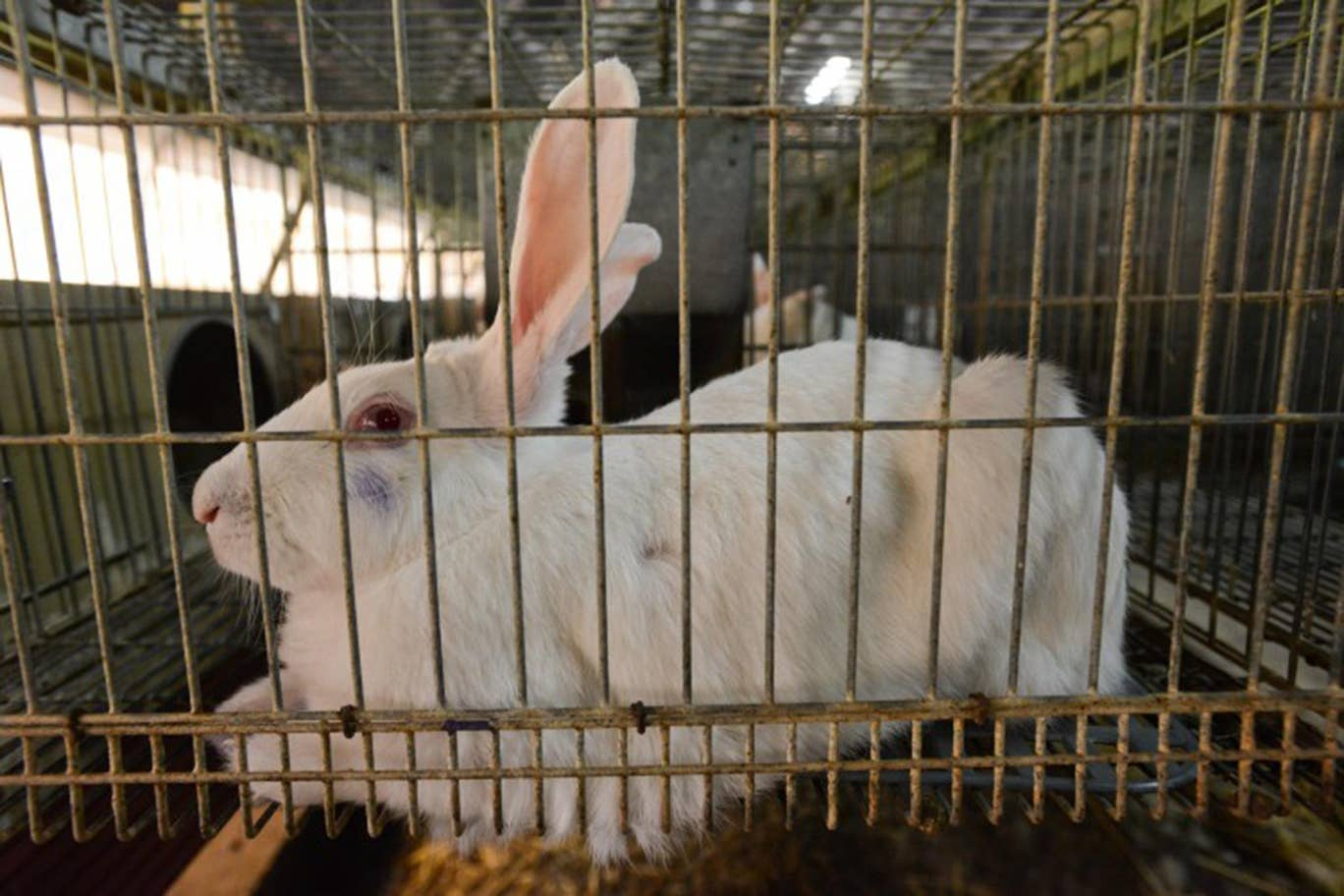 Rabbit in a breeding cage