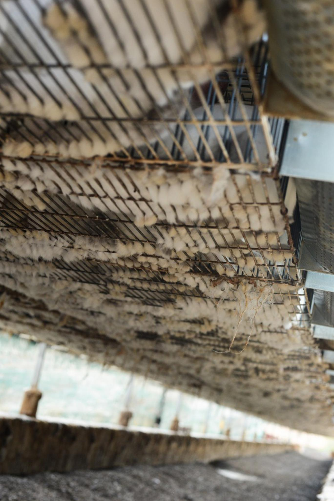 Rabbits in cages hover above excrement on breeding farm