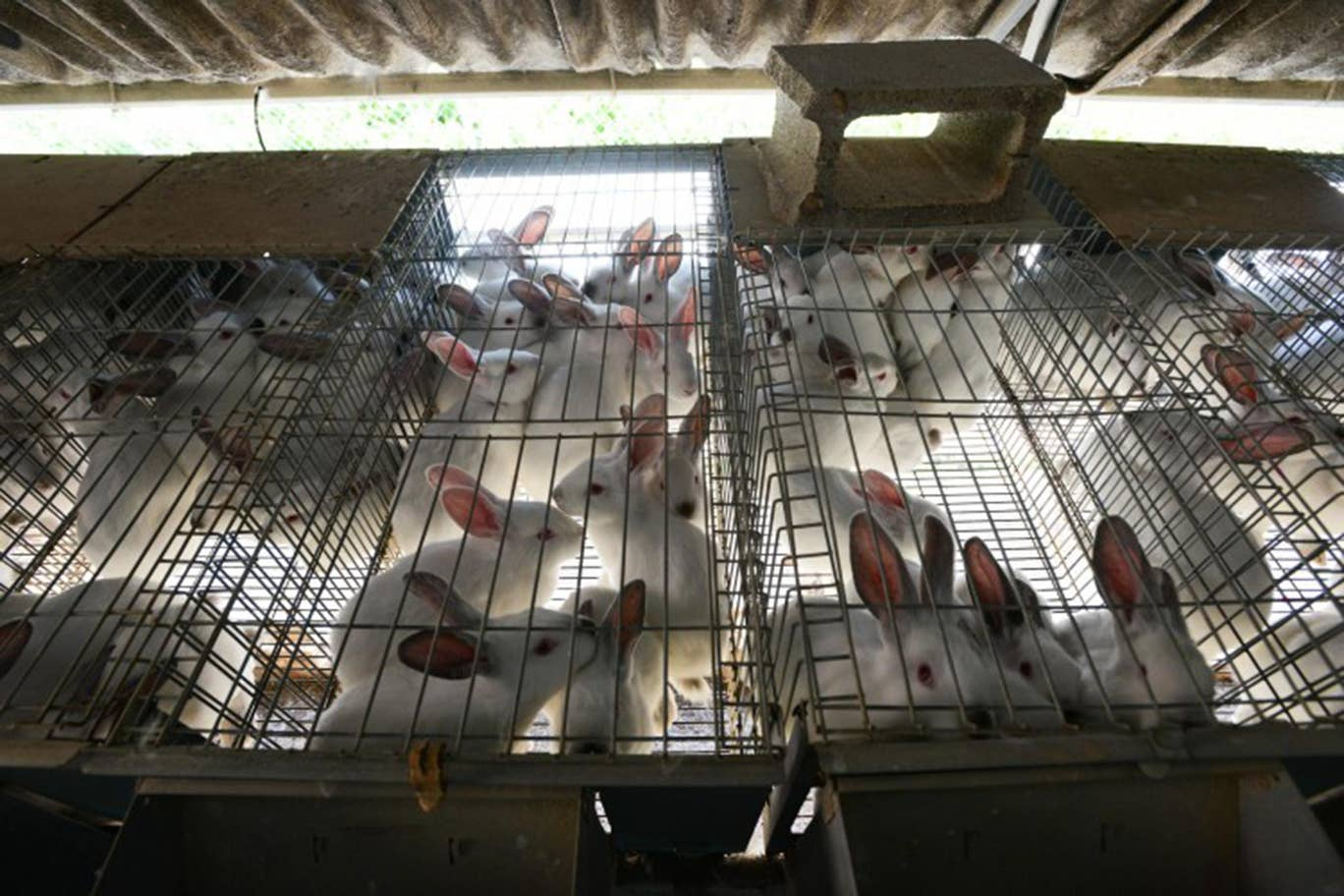 Rabbits in breeding cages