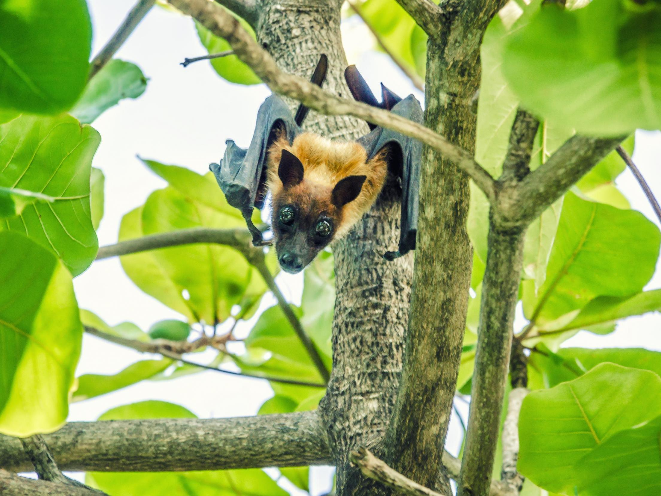 Endangered fruit bats 'being driven to extinction' in Mauritius after mass culls kill 50,000
