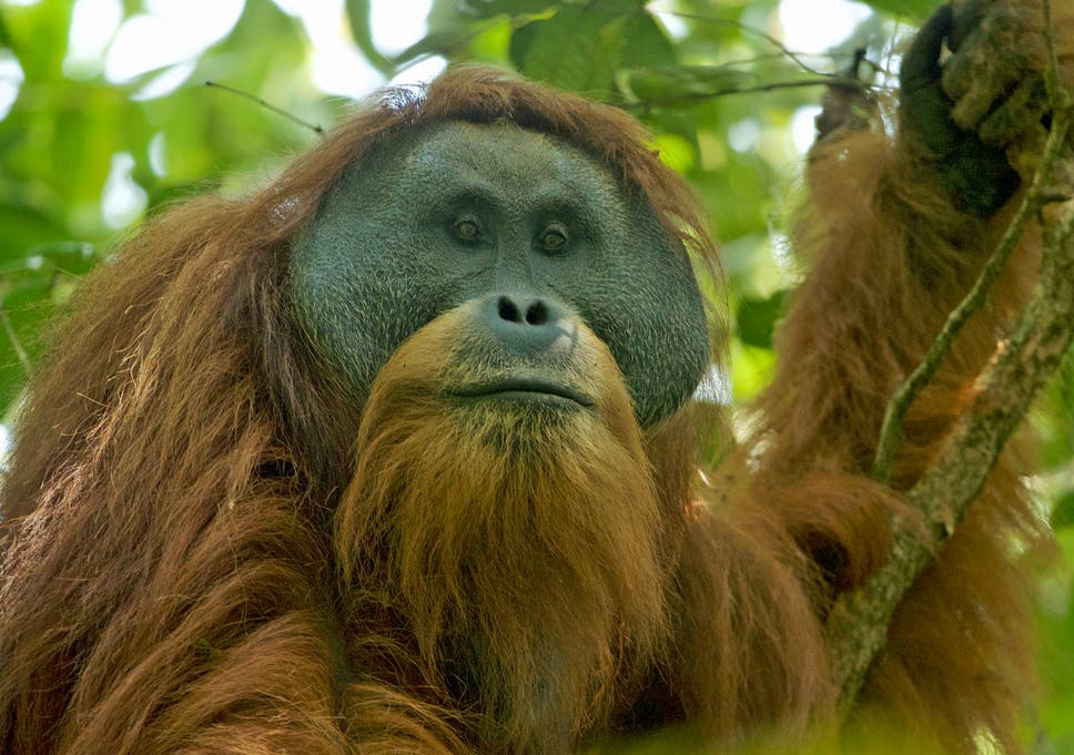 Image of: Palm Oil Flanged Adult Male Tapanuli Orangutan In The Batang Toru Forest Their Only Known Habitat The Independent Endangered Orangutans doomed To Extinction As Chinesebuilt Hydro