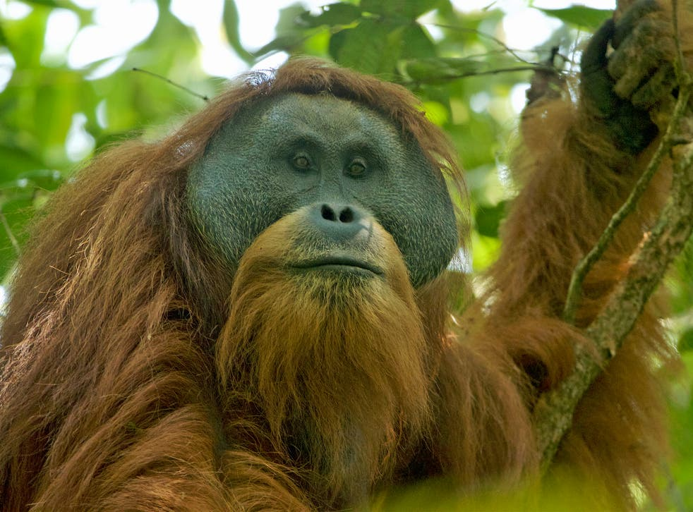 A flanged adult male Tapanuli orangutan in the Batang Toru Forest, their only known habitat, in North Sumatra
