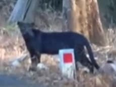 Rare black leopard captured on film
