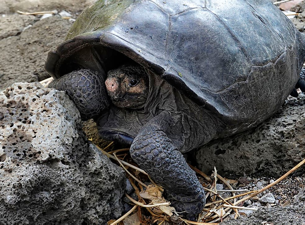 A Fernandina Island Galapagos tortoise was found last month for the first time since 1906