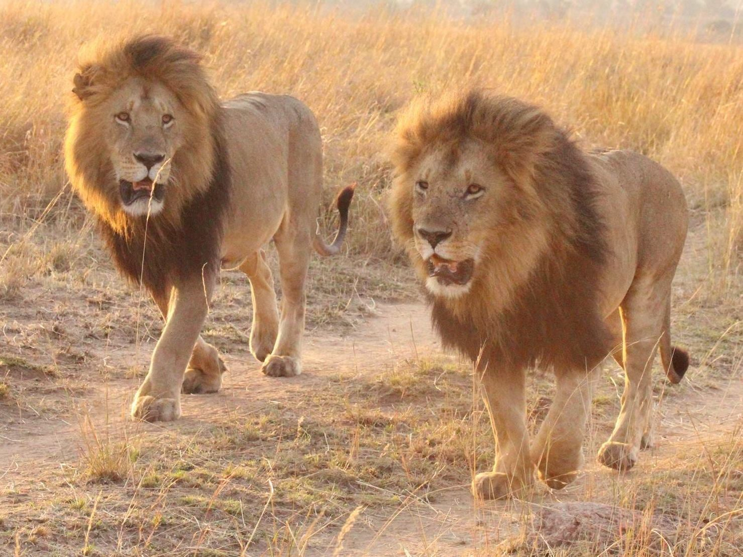 Lions - latest news, breaking stories and comment - The