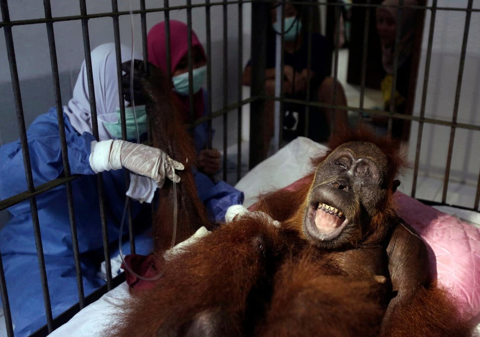 The real victims of the palm oil industry are orangutans