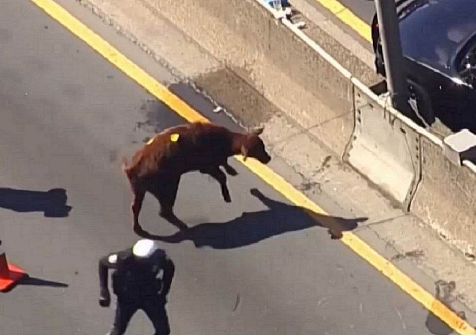 Calf who escaped from slaughterhouse and ran for freedom