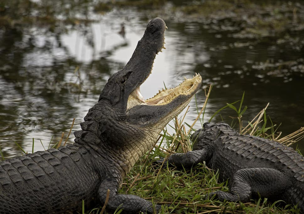 Why Alligators Don't Make Good Pets (and 9 Other Fun Gator Facts)