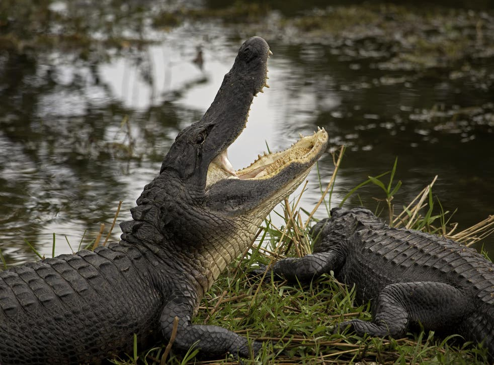 Crocodilians such as alligators are the dinosaurs' closest living relatives