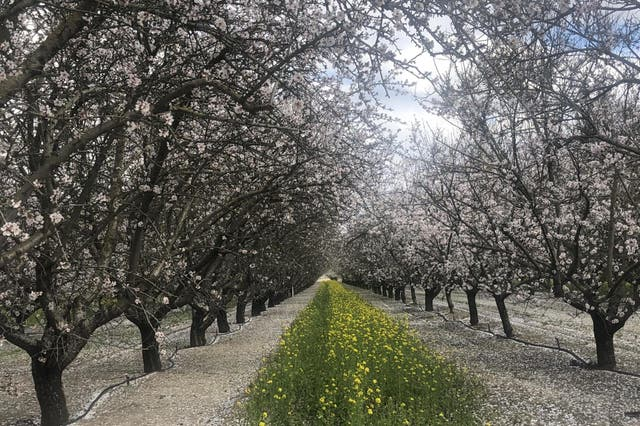 The California almond industry is doing what it takes to become sustainable