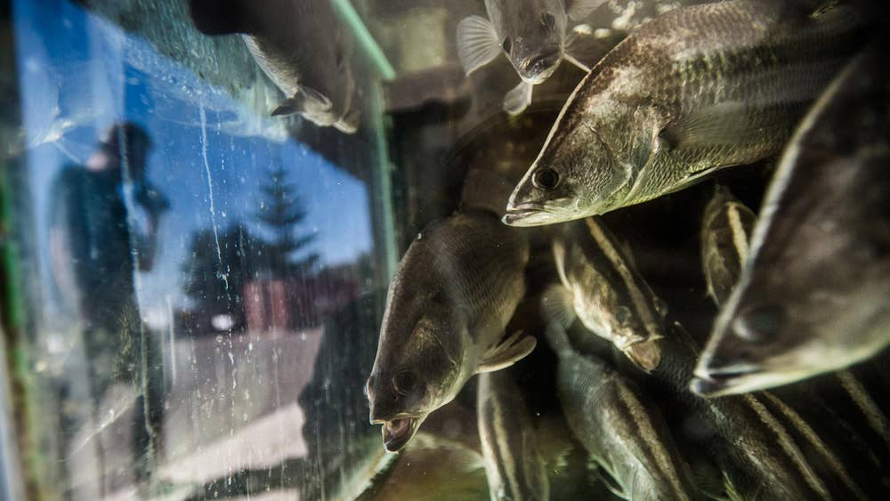 Eight million salmon killed in a week by sudden surge of