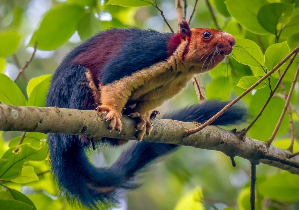 L'écureuil géant multicolore Malabar, qui a été aperçu dans une forêt du district de Pathanamthitta en Inde.