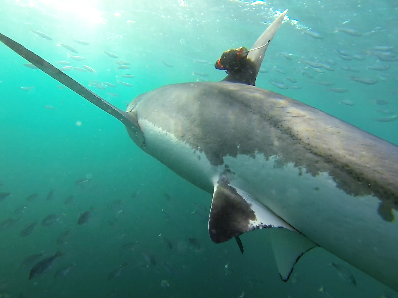 Cameras mounted on great white sharks capture giant