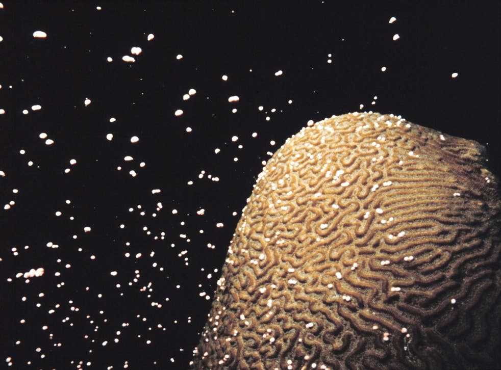 Corals spawn by releasing eggs and sperm into the water, which combine and develop into tiny floating larvae