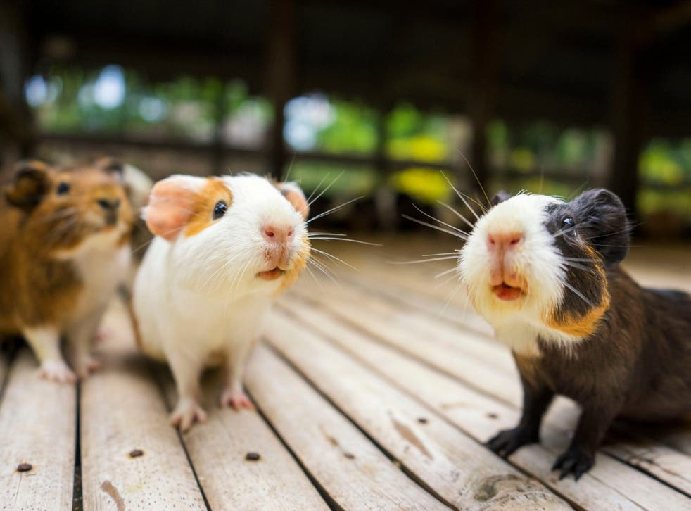 Guinea pigs are used in the Andes to detect illness: practitioners are trained to interpret the squeaks