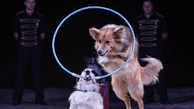 Dogs perform tricks at a circus in France