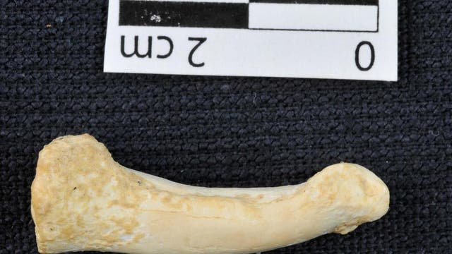 A foot bone of the newly discovered species Homo Luzonensis
