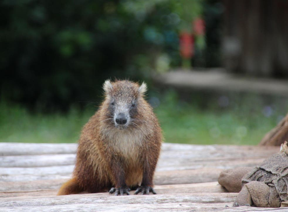 The government wants to farm hutias, large rodents native to Cuba