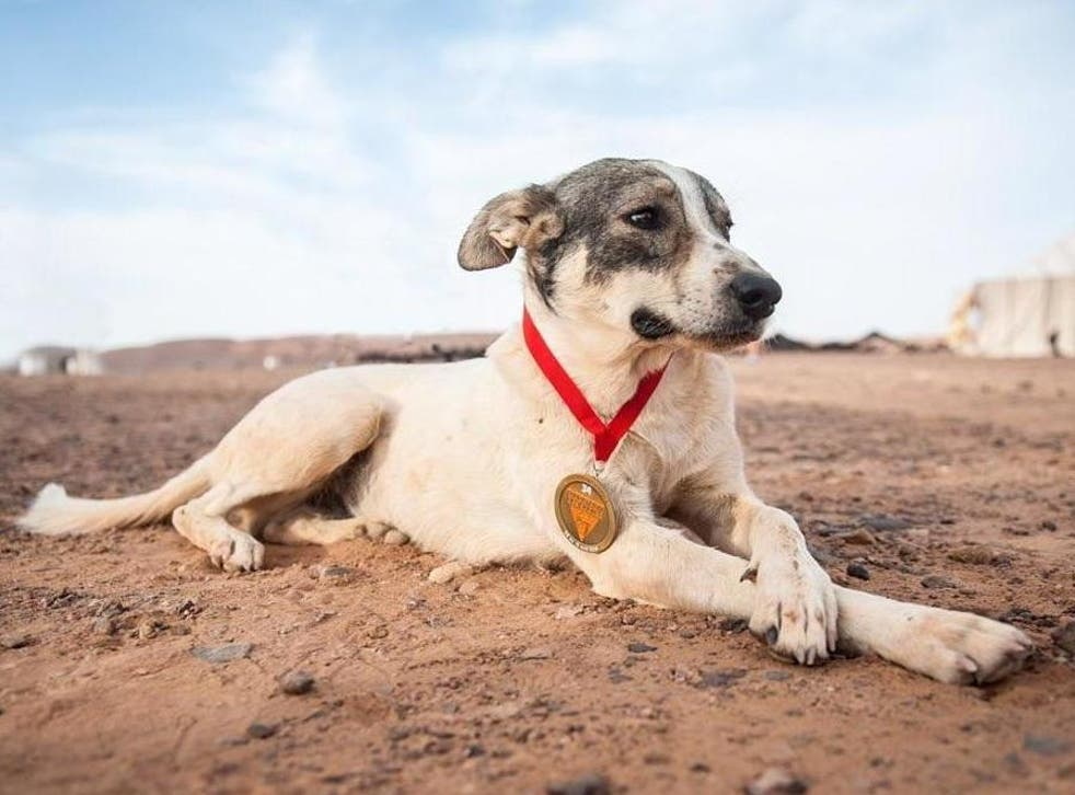 Cactus the dog, also known as Diggedy, poses with his medal during the Marathon des Sables