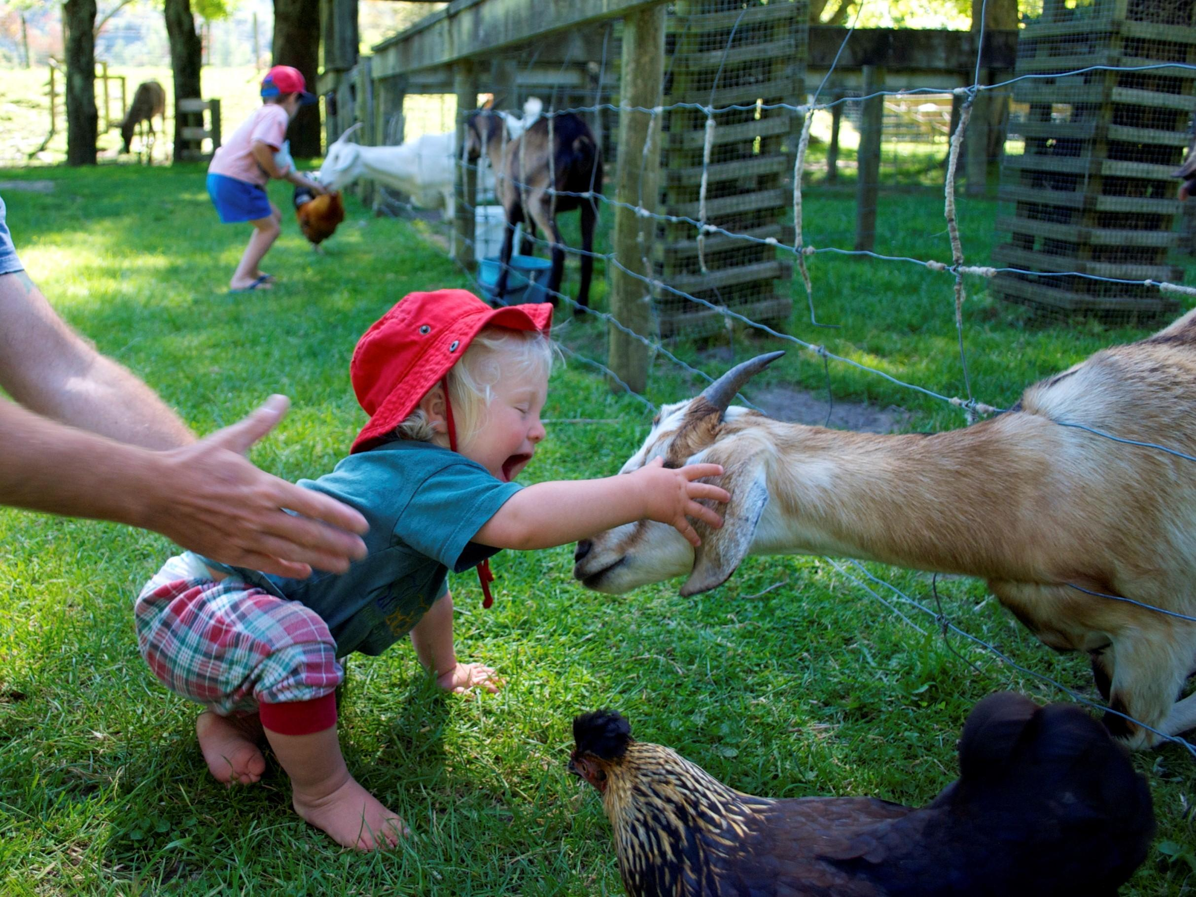Petting zoos a breeding ground for drug-resistant superbugs, study finds