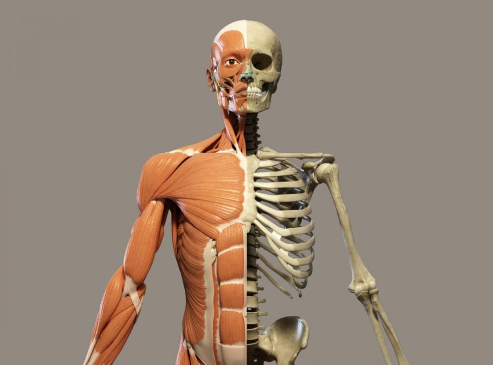 Human skeleton muscles and bones