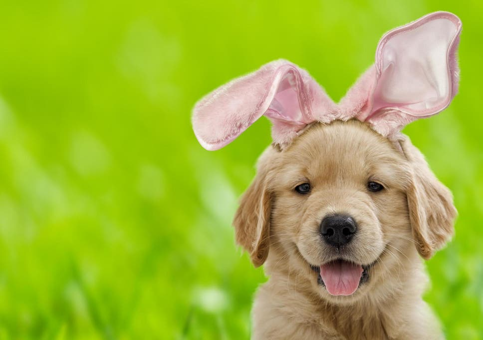 Easter: What you should know about letting your dogs eat chocolate ...
