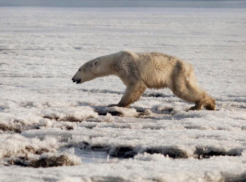 A polar bear was spotted looking for food in the village of Tilichiki on the Kamchatka peninsula, in far eastern Russia, hundreds of miles from its natural habitat in Chukotka.