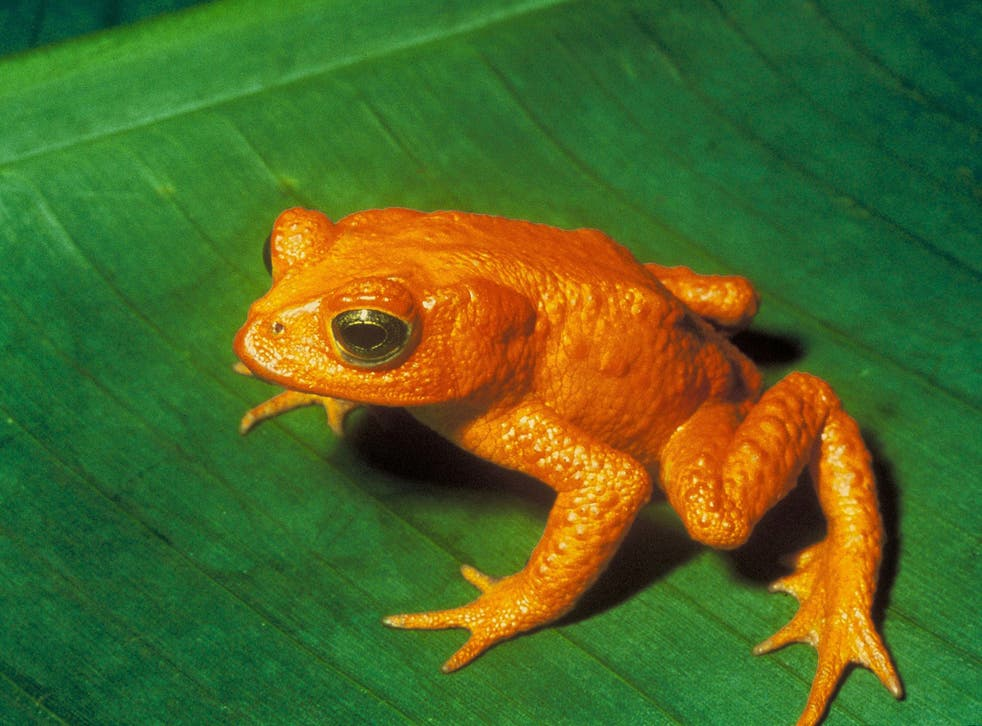The golden toad of Costa Rica (Incilius periglenes) is now considered to be extinct after it was last seen in the cloud forest of Monteverde