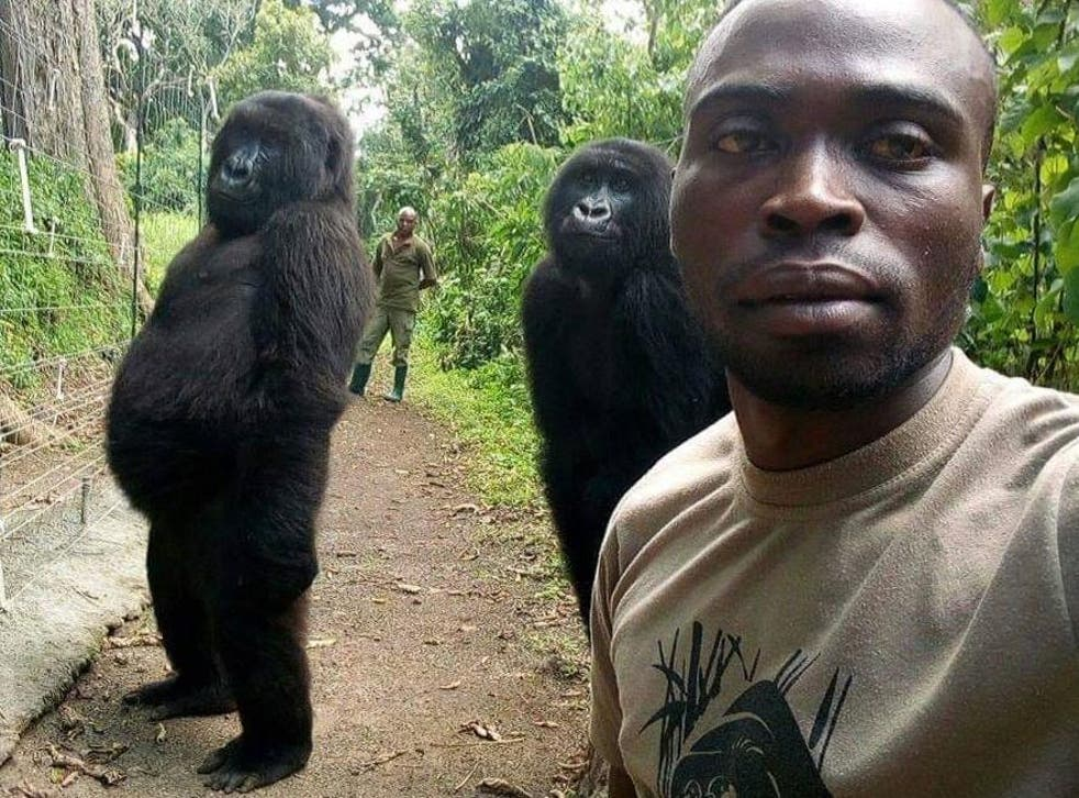 A pair of orphaned mountain gorillas strike an uncannily human pose with ranger Mathieu Samavu