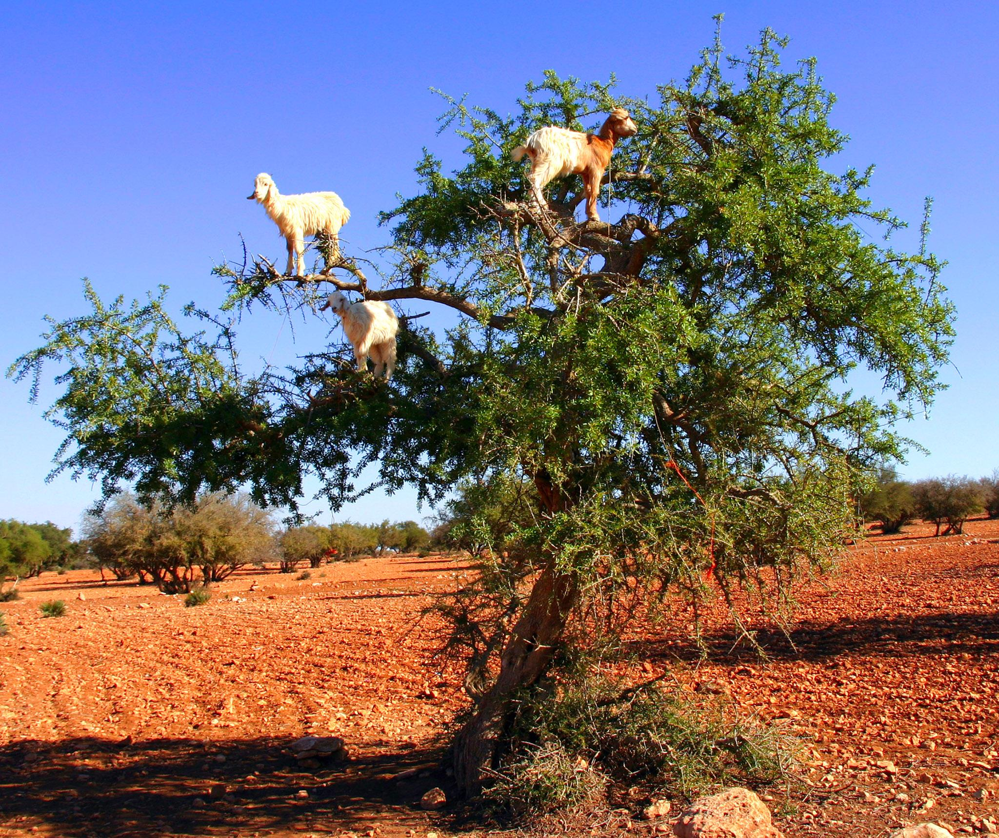 Tree-climbing goats forced up branches in scam to attract tourists, says expert