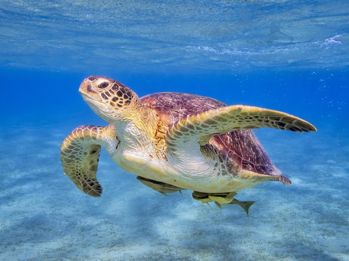 Endangered Green Turtles Now Increasing In Numbers Study Of Pacific Coral Reefs Finds The Independent The Independent