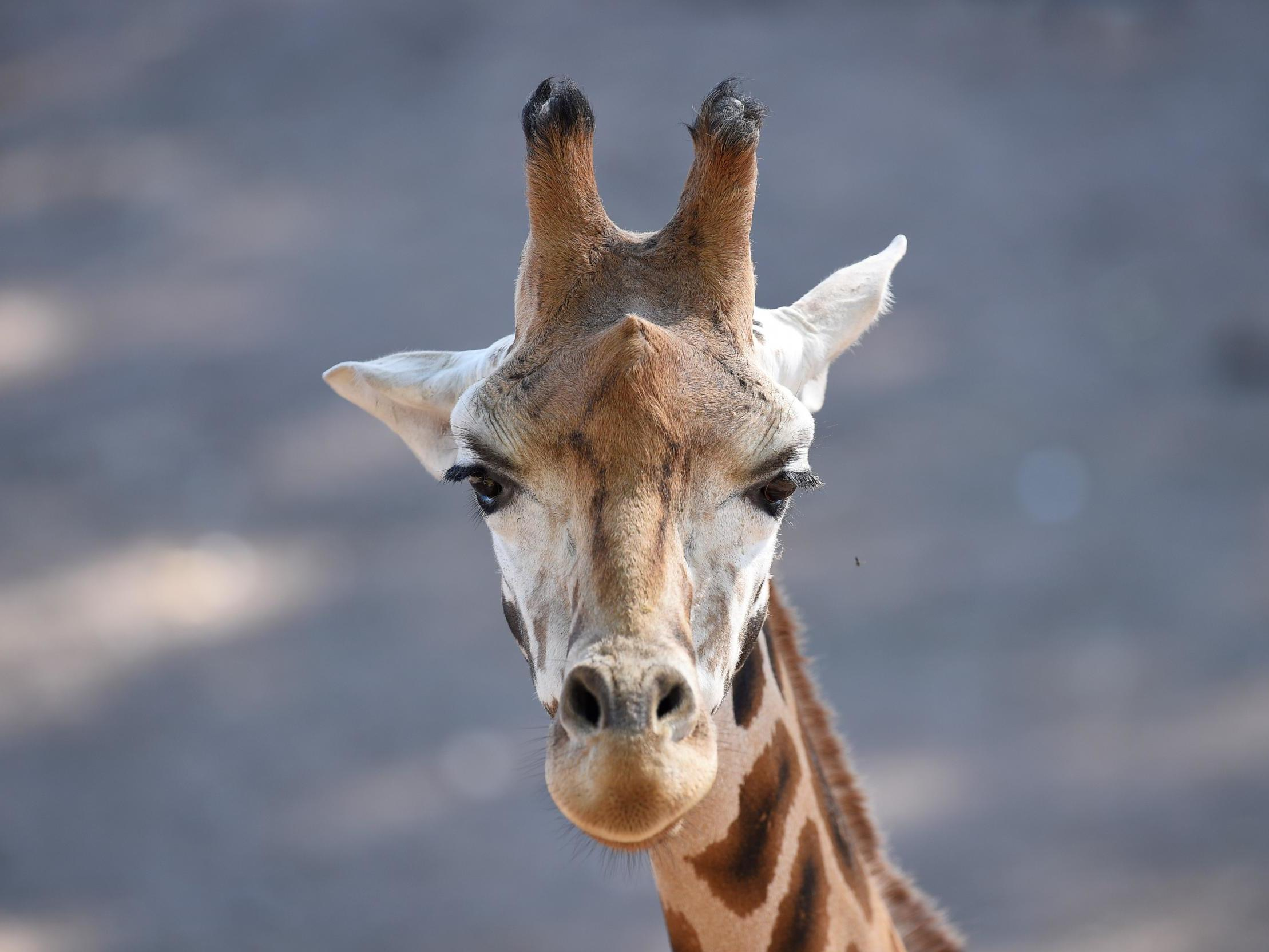 British hunters 'paying to kill endangered giraffes in Africa', campaigners say